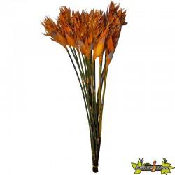PLANTE STABILISE CAPE GRASS STABILISE X 1