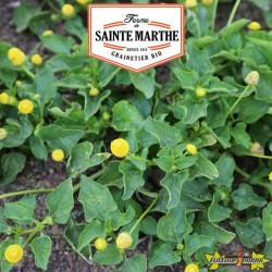 La ferme Sainte Marthe - 300 graines Cresson de Para Jaune Bredy Mafana