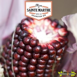 La ferme Sainte Marthe - 50 graines Maïs Pop-corn Fraise