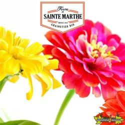 La ferme Sainte Marthe - 150 graines Zinnia Elegans Double Varié
