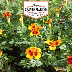 La ferme Sainte Marthe - 250 graines Oeillet d'Inde Sauvage