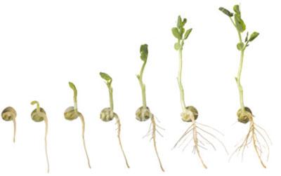 germination